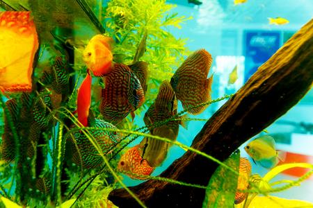 Colorful aquarium fish in aquarium. Green and orange fish. Stock Photo