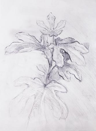イチジクの木、古い紙の上の鉛筆