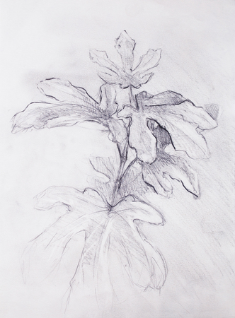 Pencil drawing on old paper, fig trees Stock Photo