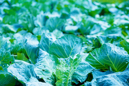Rows of cabbage on a field. Blur background Stock Photo