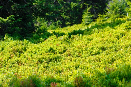 blueberry (Vaccinium myrtillus) in mountain land, fruits and leaves