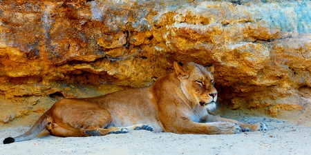quin: Beautiful Lioness resting in the sunshine. rock background.