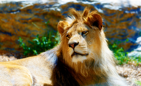 Beautiful Lion resting in the sunshine. blur background.