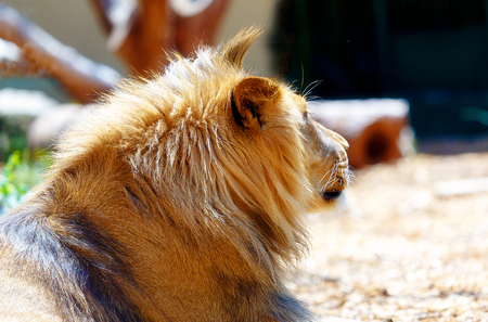 Beautiful Lion resting in the sunshine. blur background. Reklamní fotografie