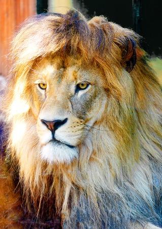 Beautiful Lion face, profile portrait. blur background.