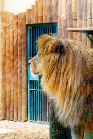 Beautiful Lion face, profile portrait. blur background. Reklamní fotografie
