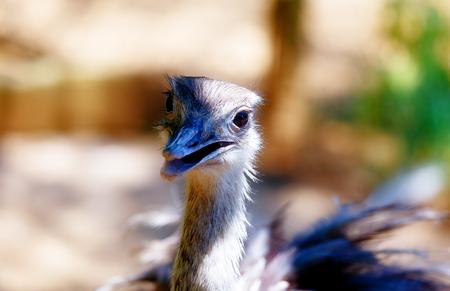 Bird ostrich and Blur background. Struthio camelus. Smiling bird. Stock Photo