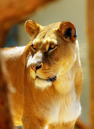 Portrait of african lioness on blurred background. Stock Photo