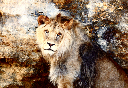 Beautiful Lion resting in the sunshine. rock background.