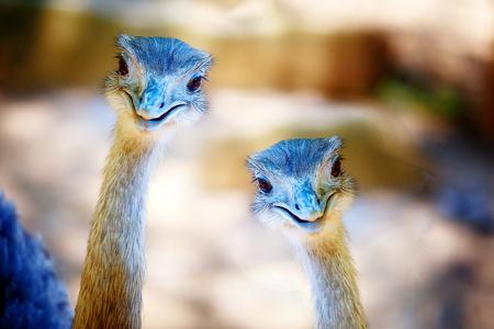 struthio camelus: Bird ostrich and Blur background. Struthio camelus. Smiling bird. Stock Photo