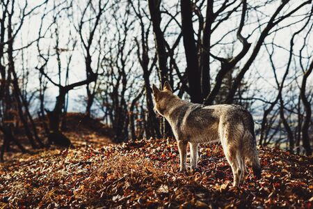 Czechoslovakian wolfdog in beautiful autumn nature. wolfhound