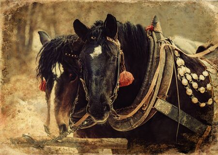 Two horses with ornate harness in close-up view, old photo effect 스톡 콘텐츠