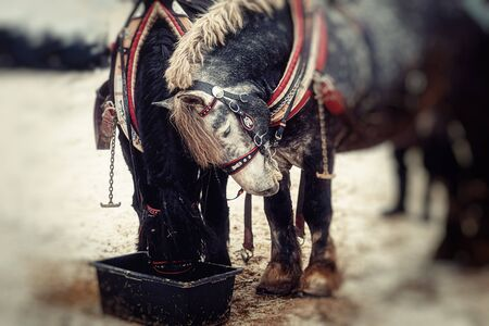 Two horses with ornate harness in close-up view 스톡 콘텐츠