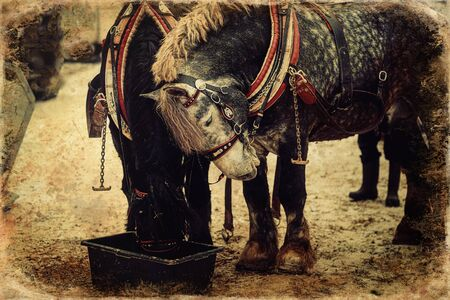 Two horses with ornate harness in close-up view, old photo effect. Foto de archivo