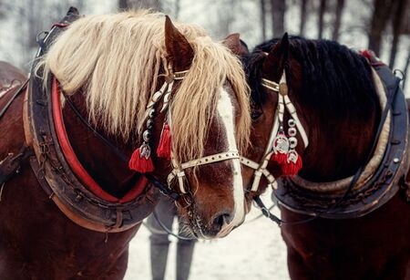 Two horse portrait close up in love, Horse love