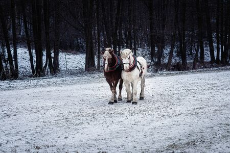 Two horses with ornate harness in winter landscape 스톡 콘텐츠