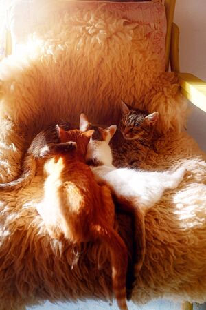 cat mother lies on fur, and two young cat