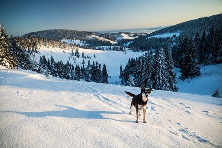 Dog in mountain, beautiful snowy winter landscape. Standard-Bild