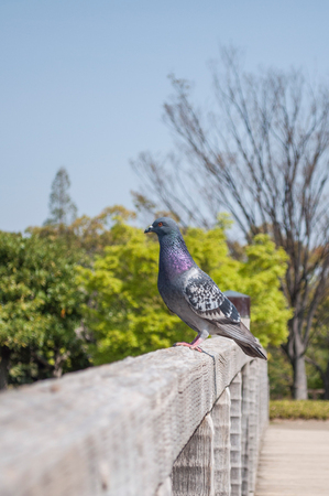 Pigeon stands on the fence.