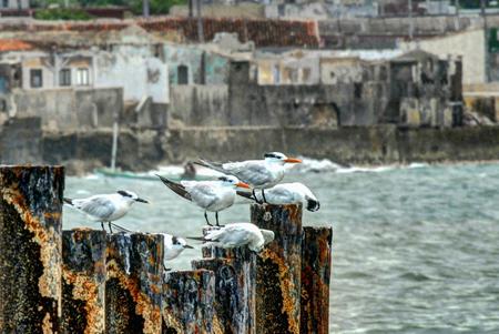 holguin: Sea Gulls in the coastal city of Gibara, north of the province of Holguin, Cuba.