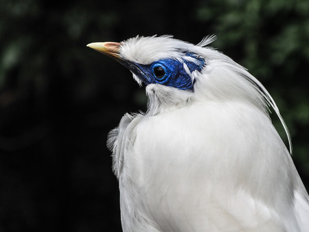 Bali Mynah bird with a blue face