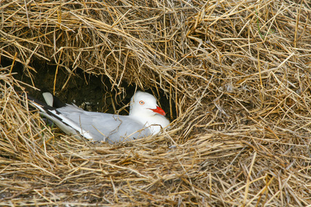 lays down: Seagull lays down in a nest