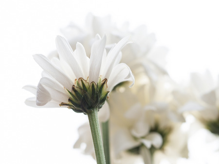 sepal: A white daisy flower, focus on receptacle and sepal