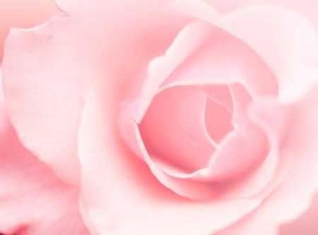 Blur soft rose flower in pink background Stok Fotoğraf