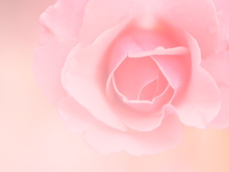 abstract background: Blur soft rose flower in pink background Stock Photo