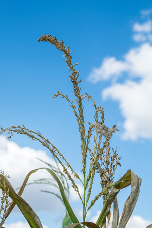 corn flower: Selective focus, corn flower stage with blue sky