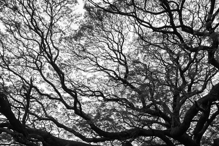 black giant: Black and white color of a giant tree - big tree branch - nature background