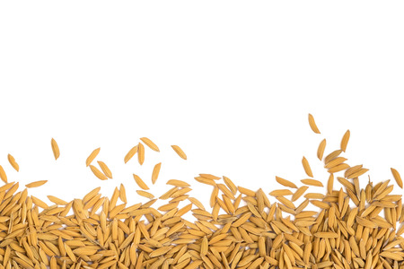Isolated dry raw paddy rice grain on the bottom on white background