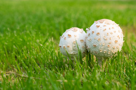 toxic mushroom: Selective focus on couple white toxic mushroom in the grass field