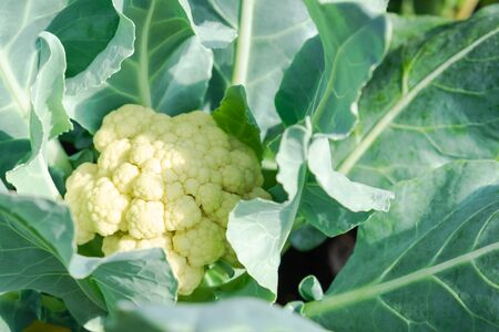 Close up cauliflower with green leaves in organic farm