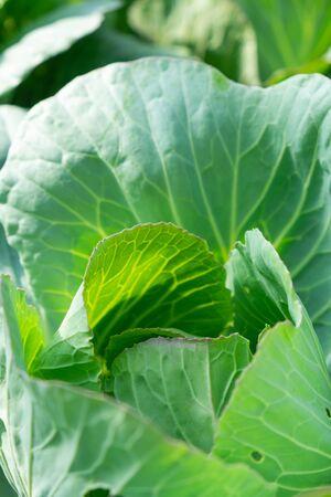 Selective focus on fresh green cabbage in organic farm Stok Fotoğraf