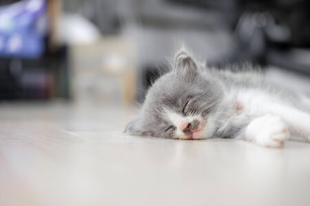 Cute kitten (Half Persian) with gray and white fur is sleeping on the floor