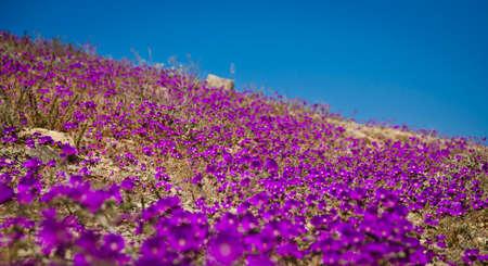 開花期間中にアタカマ砂漠の砂漠の花します。