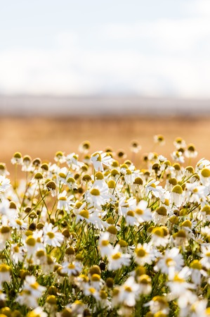 Bed of daisies on golden sunlight during sunset. El calafate, Argentina