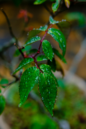 green leaves from a bush full of droplets after the rain, being bathed in light, blurred background, bege and brown surroundings