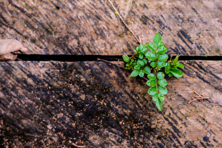 green leaves growing from a wooden plank, being bathed in light, blurred background, beautiful wooden texture and diagonal crack from where the plants comes Stock Photo