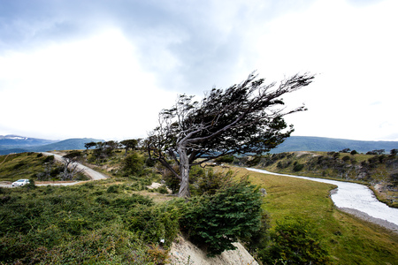 flag tree in Tierra Del Fuego, bent by the strong wind,  Patagonia, Argentina.