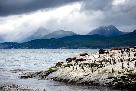 Cormorant colony on an island at Ushuaia in the Beagle Channel Beagle Strait, Tierra Del Fuego, Argentina.