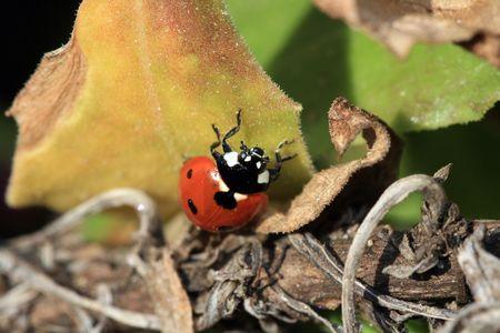 small butt: ladybug Stock Photo