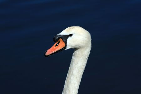 white swan closeup in a lake photo