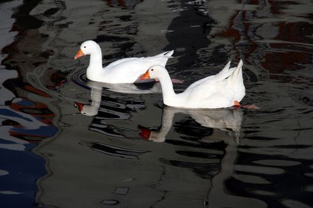 ducks swans and gooses in the nature photo