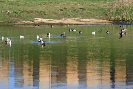 ducks swans and gooses in the nature Stock Photo - 3069158