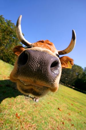 beautiful crazy cow Stock Photo