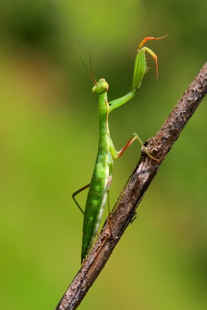 Juvenile Mantis religiosa, praying mantis on a stick   Stock Photo