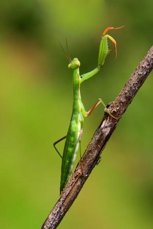 Juvenile Mantis religiosa, praying mantis on a stick   Stock Photo