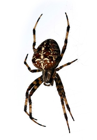segmentata: Spider isolated on white